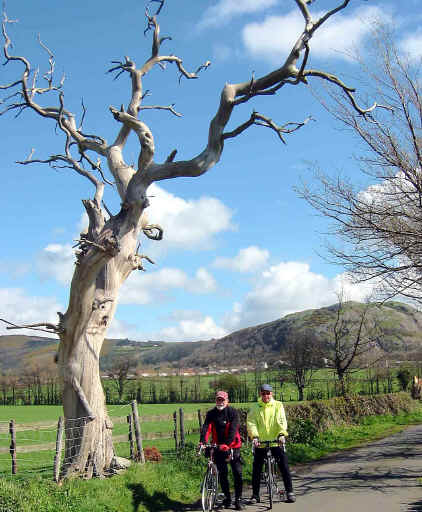 Skeleton of a dead elm tree and two cyclists
